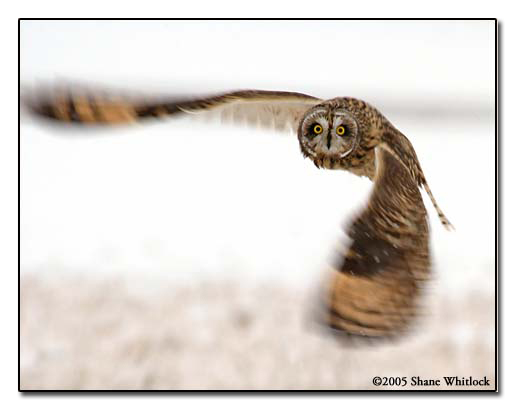 Owl in Flight �2006 Shane Whitlock Photography